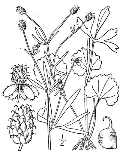 drawing of Ranunculus allegheniensis, Mountain Crowfoot, Allegheny Buttercup