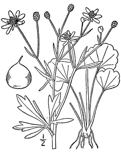 image of Ranunculus harveyi, Harvey's buttercup