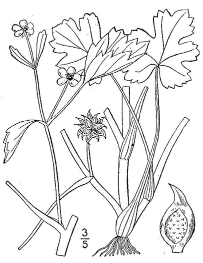 drawing of Ranunculus muricatus, spinyfruit buttercup, Roughseed Buttercup