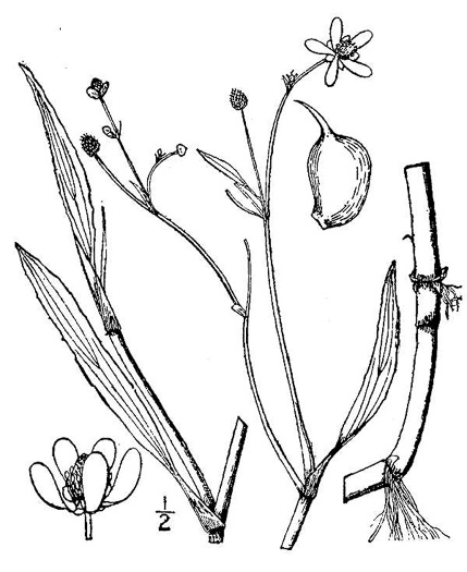 drawing of Ranunculus ambigens, Water-plantain Crowfoot, Water-plantain Spearwort