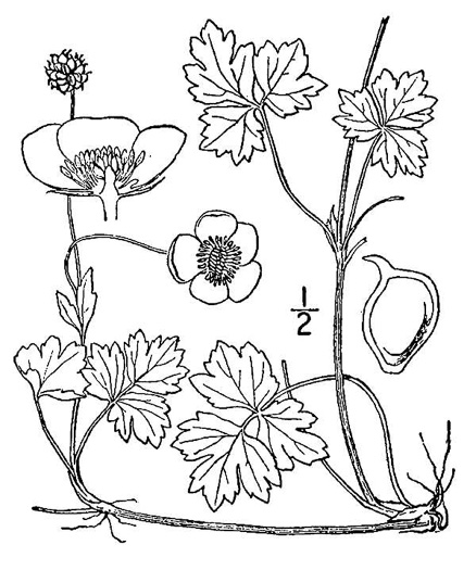 drawing of Ranunculus repens, Creeping Buttercup