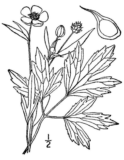 drawing of Ranunculus septentrionalis, Carolina Buttercup, Swamp Buttercup