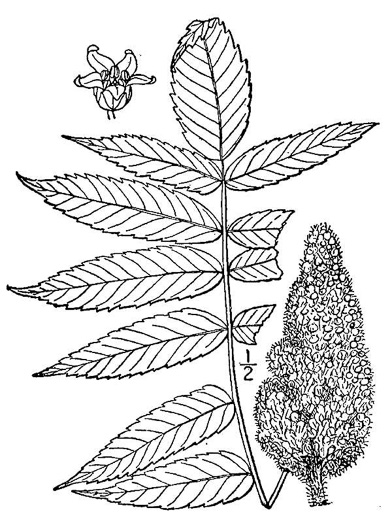 image of Rhus typhina, Staghorn Sumac