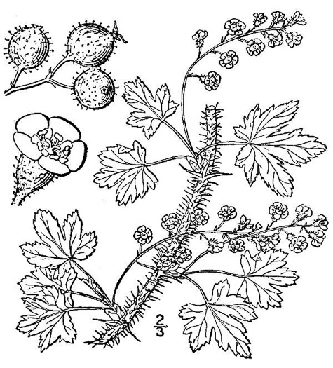 drawing of Ribes lacustre, Bristly Black Currant, Spiny Swamp Currant