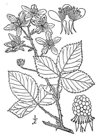 image of Rubus pensilvanicus, Pennsylvania Blackberry, Highbush Blackberry, Southern Blackberry