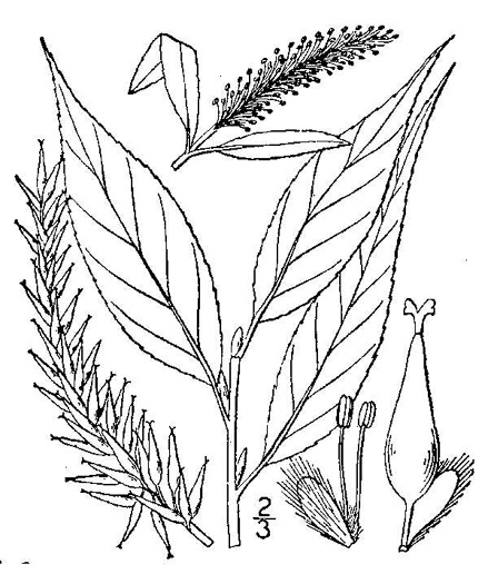 image of Salix fragilis, Crack Willow, Brittle Willow