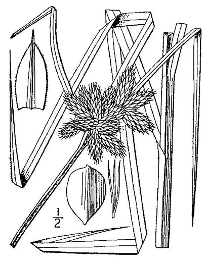 image of Bolboschoenus robustus, Saltmarsh Bulrush