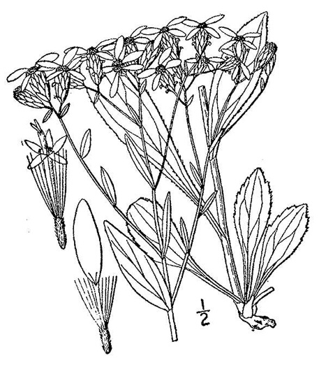 image of Sericocarpus asteroides, Toothed White-topped Aster