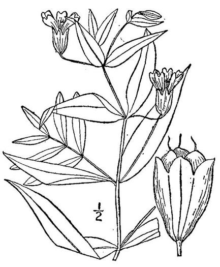 image of Silene latifolia, White Campion, Evening Campion, White Cockle, Evening Lychnis