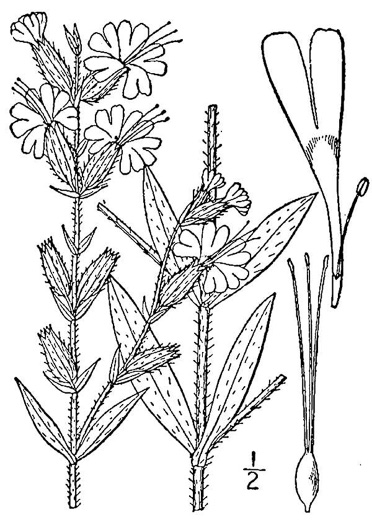 image of Silene dichotoma ssp. dichotoma, Forked Catchfly