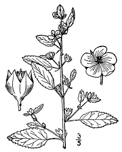Sida spinosa, Prickly Fanpetals, Prickly Sida, Prickly Mallow, False-mallow