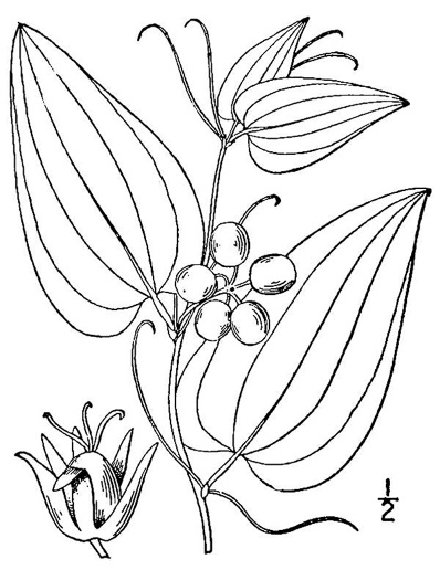 image of Smilax walteri