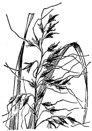 image of Sorghastrum elliottii, Elliot's Indiangrass, Slender Indiangrass, Nodding Indiangrass