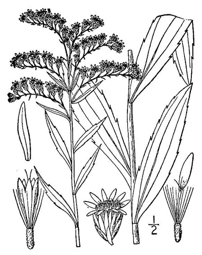 image of Solidago gigantea, Smooth Goldenrod, Late Goldenrod