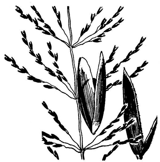image of Sporobolus junceus, Sandhills Dropseed, Pineywoods Dropseed