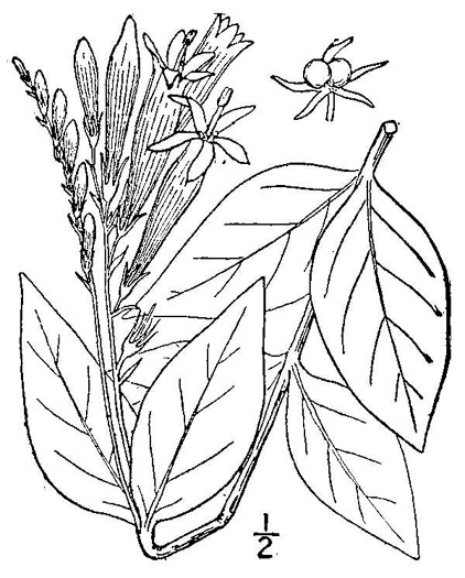 image of Spigelia marilandica, Indian Pink, Woodland Pinkroot, Wormgrass