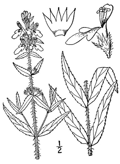 image of Stachys aspera, Rough-leaved Hedgenettle