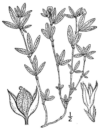 image of Stylosanthes biflora, Pencil-flower