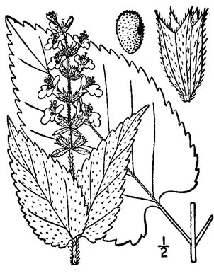 image of Stachys nuttallii, Nuttall's Hedgenettle