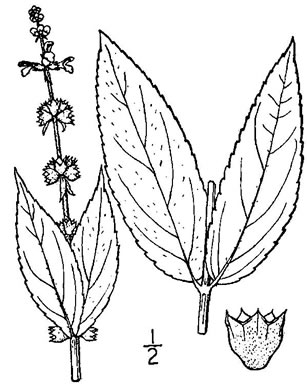 image of Stachys latidens, Broad-toothed Hedgenettle