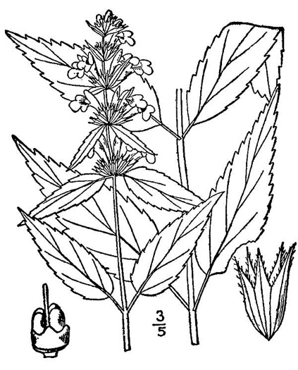 image of Stachys tenuifolia, Smooth Hedgenettle
