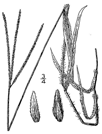 image of Digitaria ciliaris, Southern Crabgrass