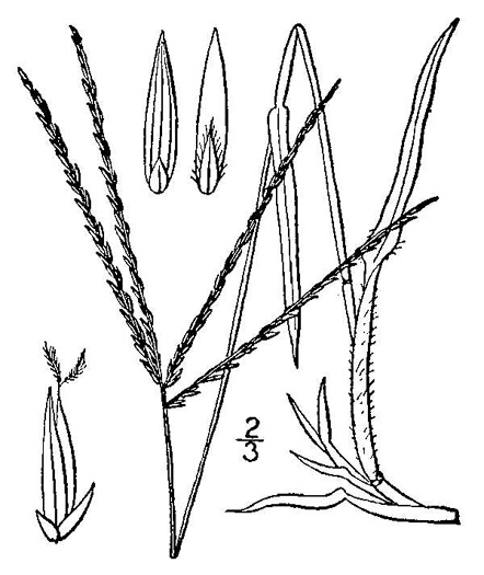 image of Digitaria sanguinalis, Hairy Crabgrass, Northern Crabgrass