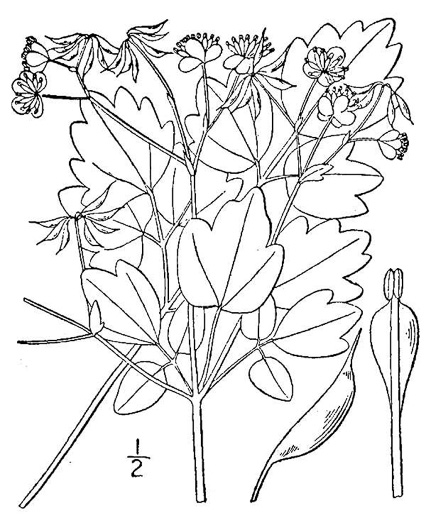 drawing of Thalictrum clavatum, Mountain Meadow-rue, Lady-rue