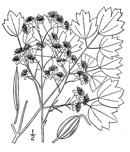 drawing of Thalictrum coriaceum, Appalachian Meadow-rue, Maid of the Mist