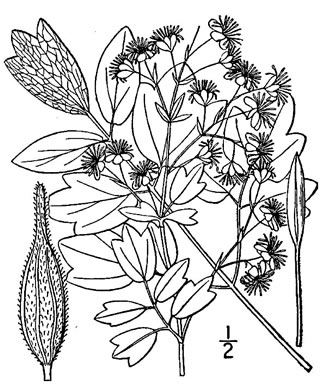 drawing of Thalictrum dasycarpum, Purple Meadow-rue