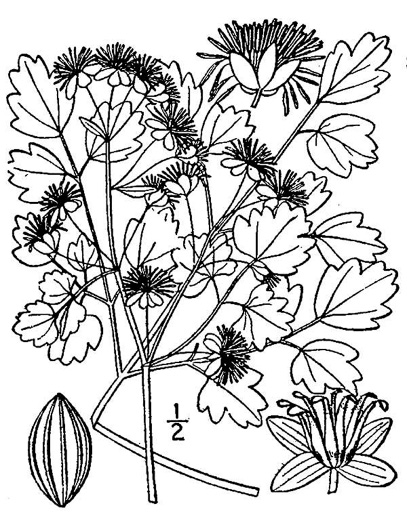 drawing of Thalictrum dioicum, Early Meadow-rue