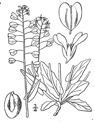 image of Microthlaspi perfoliatum, Perfoliate Penny-cress, Thoroughwort Penny-cress