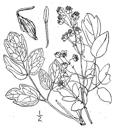 drawing of Thalictrum revolutum, Skunk Meadow-rue, Waxy Meadow-rue