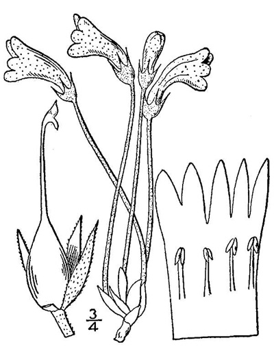 picture of Orobanche uniflora, image of Aphyllon uniflorum