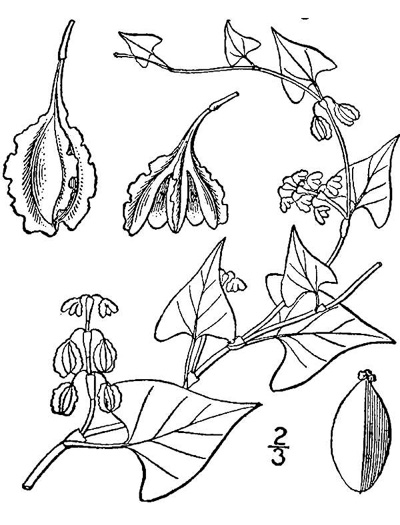 image of Fallopia cristata, Crested Climbing Buckwheat, Climbing False Buckwheat
