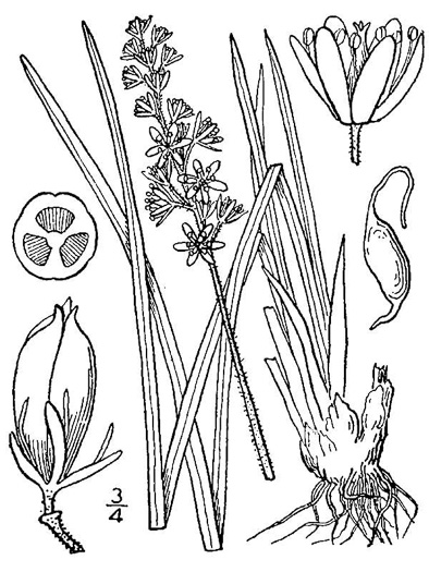 image of Triantha glutinosa, Sticky Bog Asphodel, Northern Bog Asphodel, False Asphodel