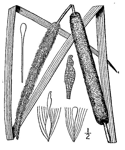 image of Typha angustifolia, Narrowleaf Cattail