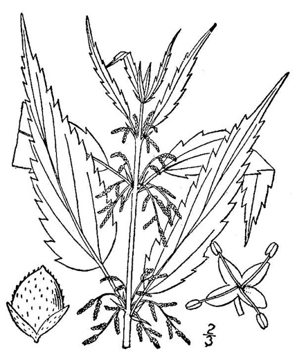 image of Urtica gracilis, American Stinging Nettle