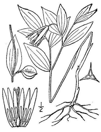 image of Uvularia sessilifolia, Wild-oats, Sessile-leaf Bellwort, Straw-lily