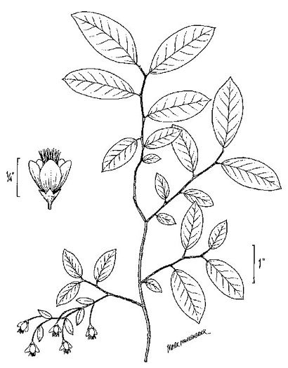 image of Vaccinium stamineum var. stamineum, Common Deerberry