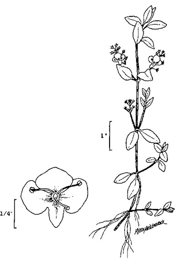 image of Veronica americana, American Speedwell, American Brooklime