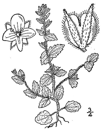 image of Veronica arvensis