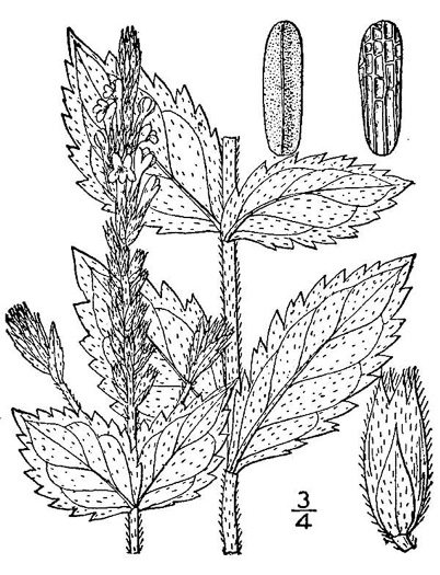drawing of Verbena stricta, Hoary Vervain