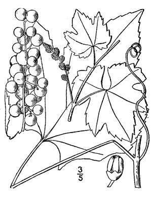 Vitis aestivalis var. bicolor, Silverleaf Grape