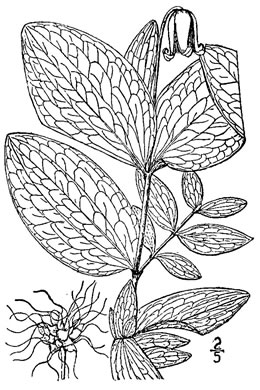 drawing of Clematis fremontii, Fremont's Leatherflower