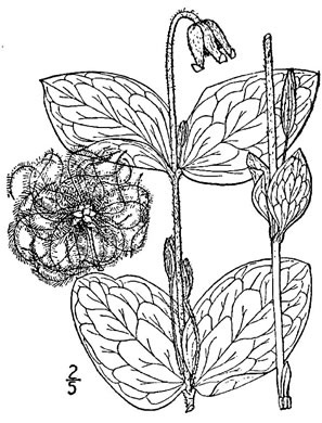 image of Clematis ochroleuca, Curlyheads