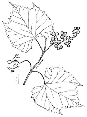 Vitis riparia, Riverbank Grape