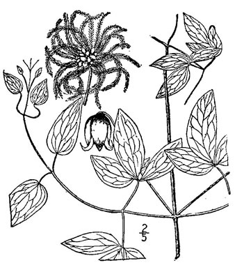 drawing of Clematis viorna, Northern Leatherflower, Vase-vine