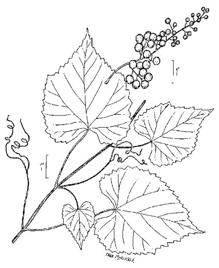 Vitis vulpina, Frost Grape, Winter Grape, Chicken Grape