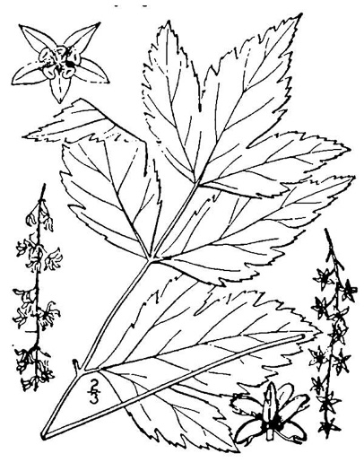 drawing of Xanthorhiza simplicissima, Yellowroot